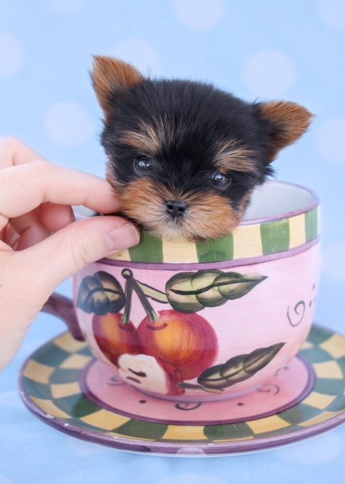 Micro Teacup Yorkies and Yorkie Puppies For Sale in South Florida