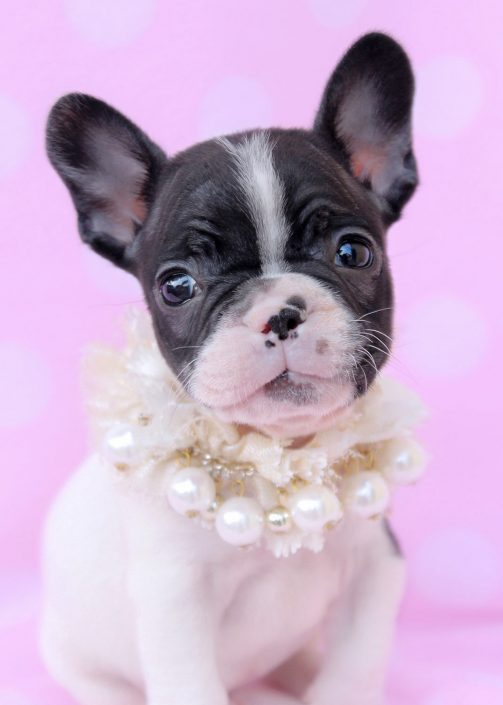 Adorable French Bulldog Puppies For Sale at TeaCups Puppy Boutique