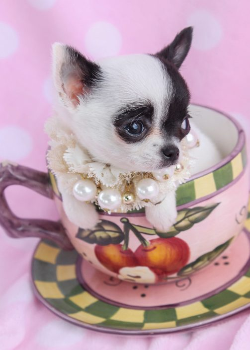 Tiny Micro Teacup Chihuahua Puppies For Sale in South Florida