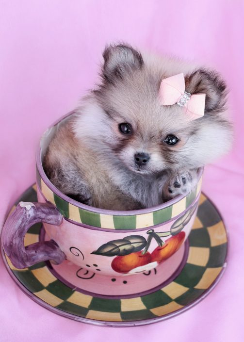 Gorgeous Tiny Teacup Pomeranian Puppies For Sale in South Florida
