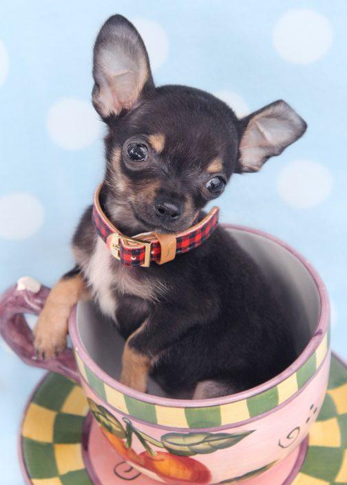 Teacup Chihuahua ID #423
