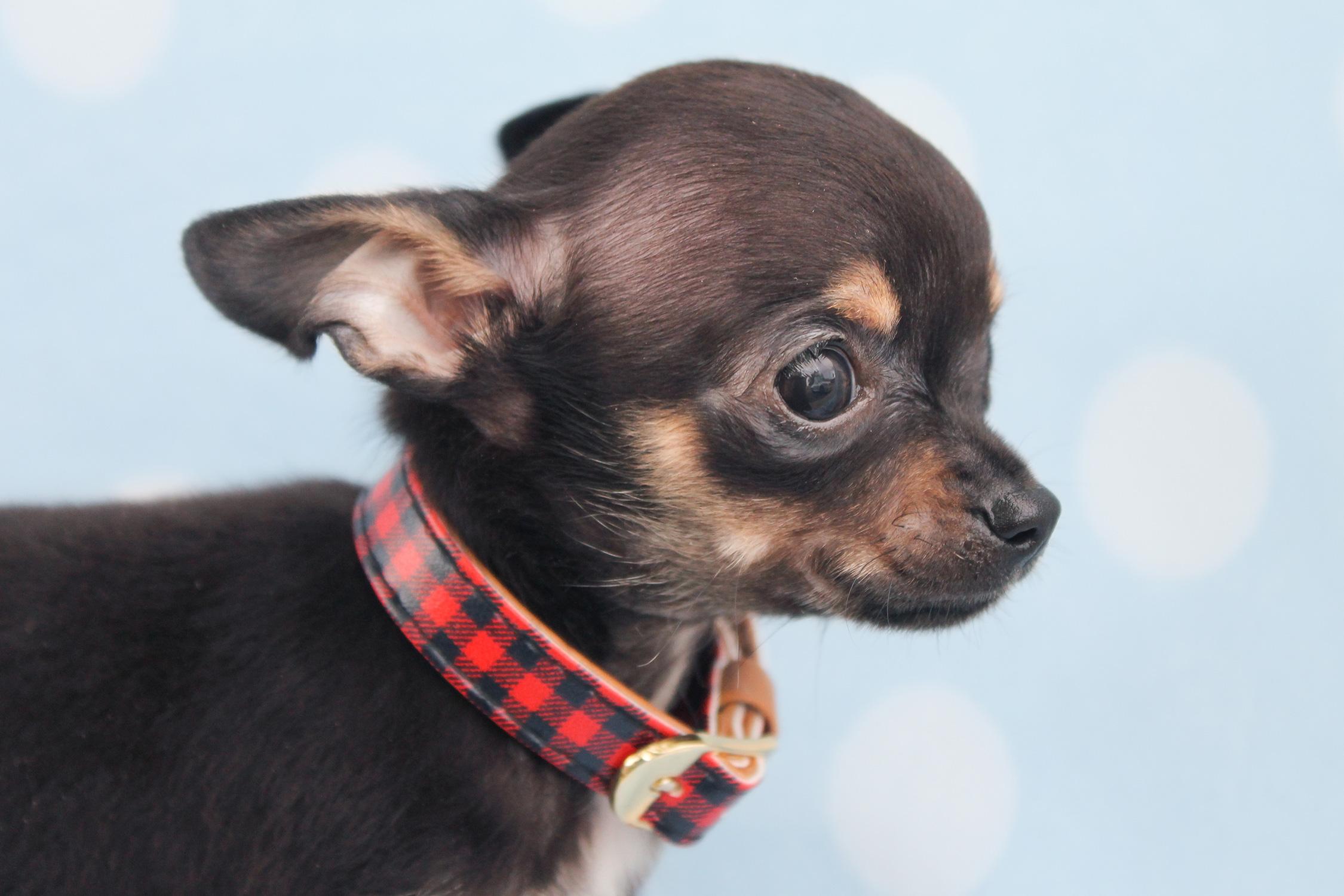 Teacup Chihuahua Puppies For Sale in South Florida