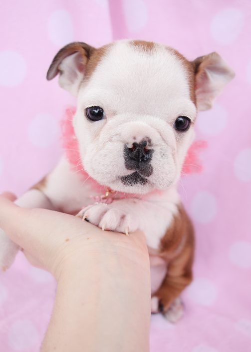 English Bulldog ID #066