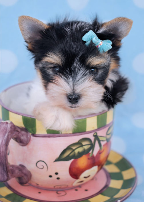 Biewer Terrier Puppy ID #365