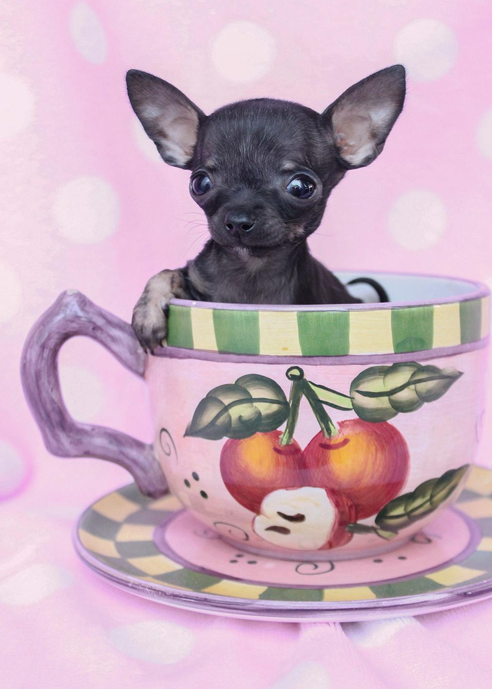 Teacup Chihuahua ID #351