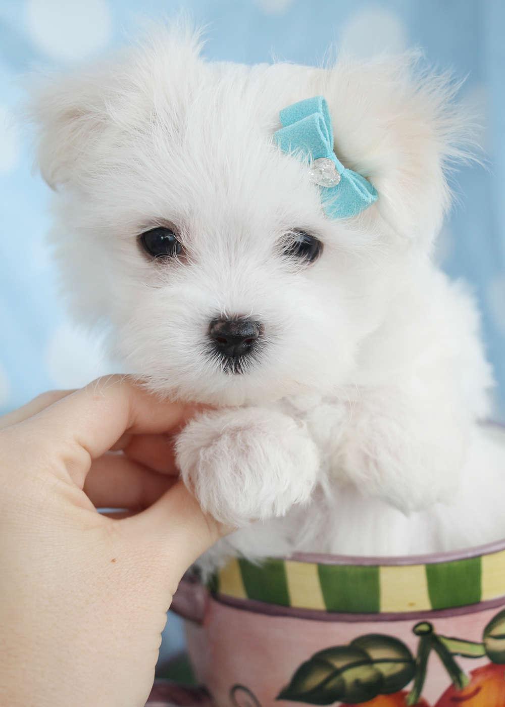 Maltese Puppy ID #091