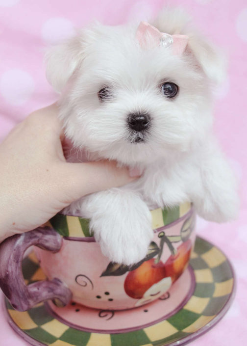 Maltese Puppy ID #180