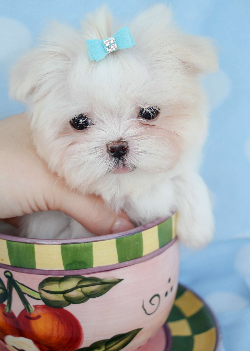 Maltese Puppy ID #257
