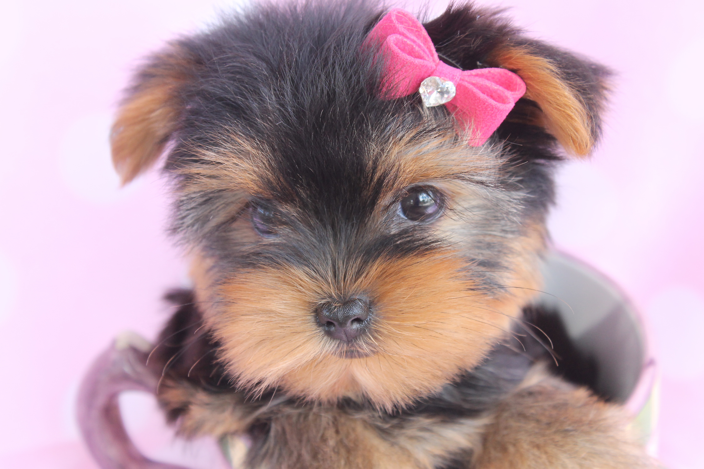 Beautiful Teacup Yorkie Puppies Miami Ft. Lauderdale Area ...