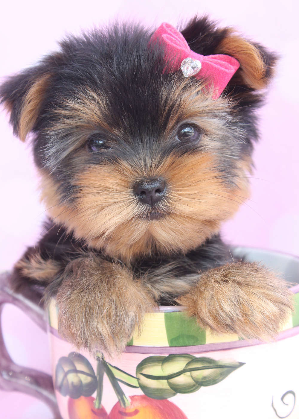 Beautiful Teacup Yorkie Puppies Miami Ft Lauderdale Area