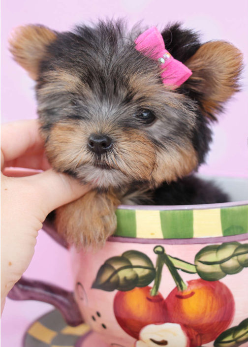 Yorkshire Terrier Puppy ID #217