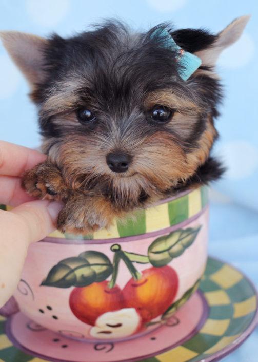 Yorkshire Terrier Puppy ID #251