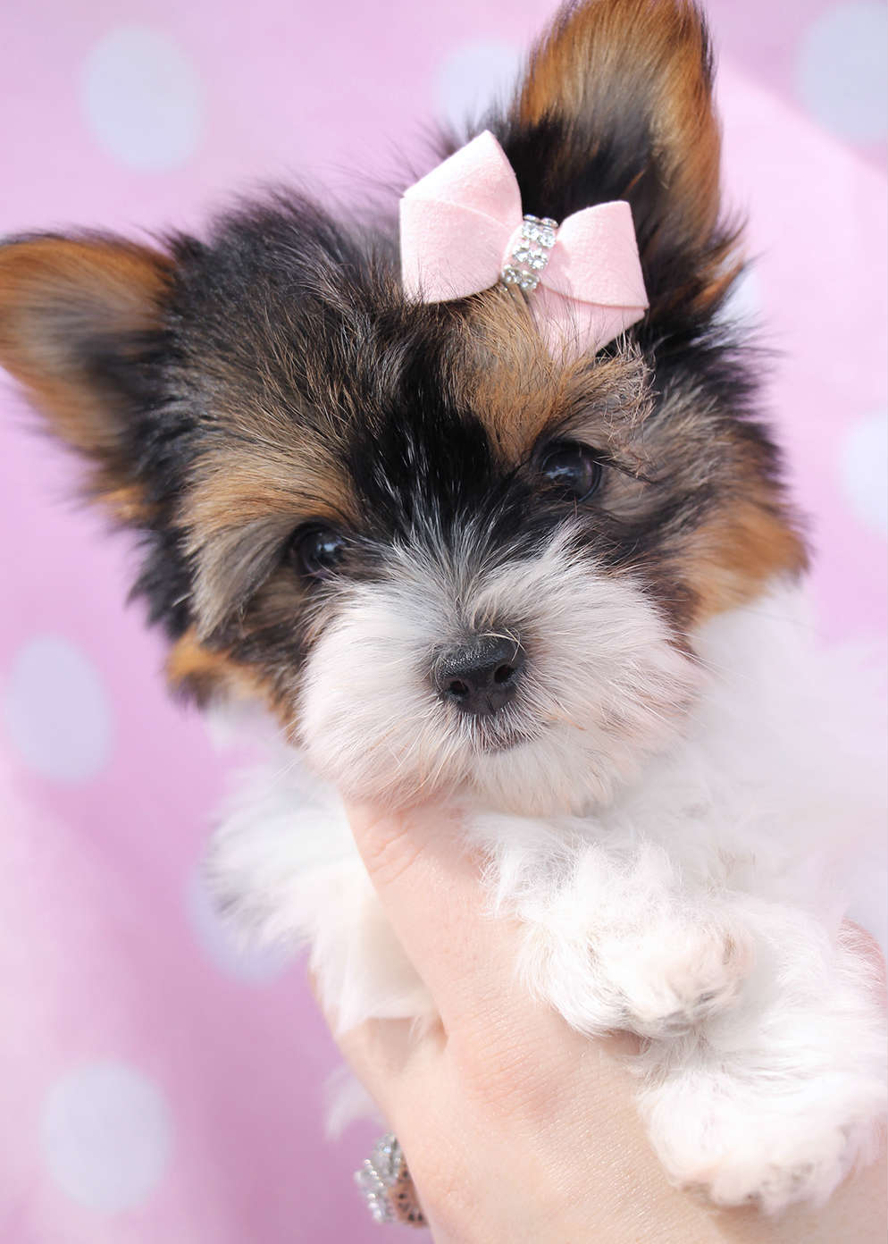 Teacup Parti Yorkshire Terrier Puppies Florida | Teacups ...