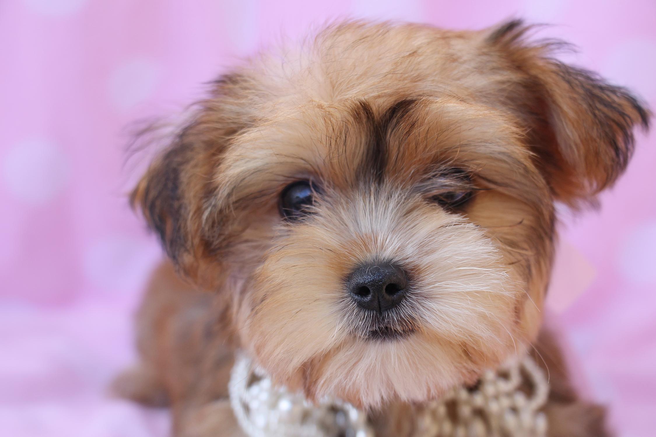 Morkie Puppy ID #263