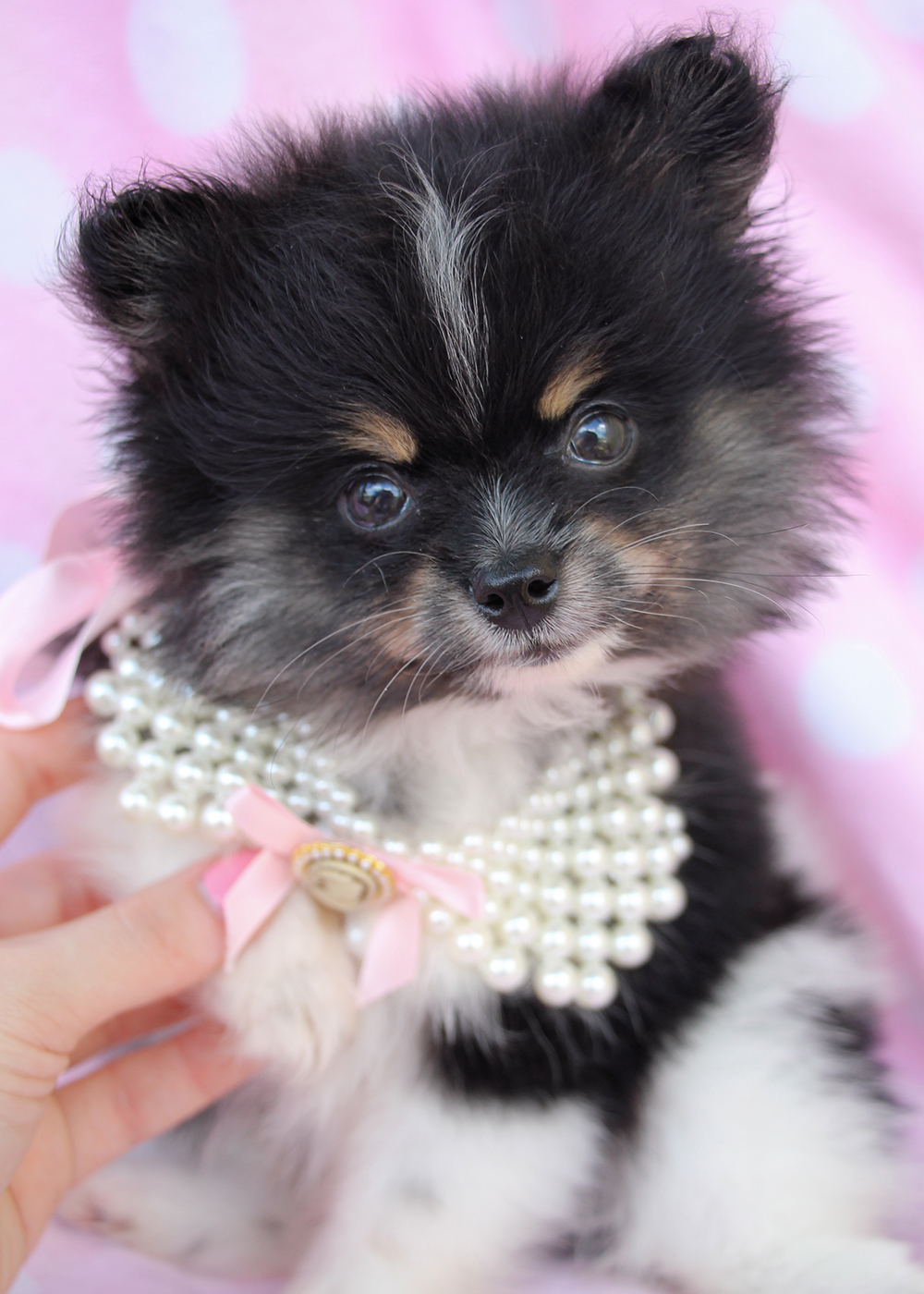 Pomeranian Puppies For Sale at TeaCups Puppies South ...