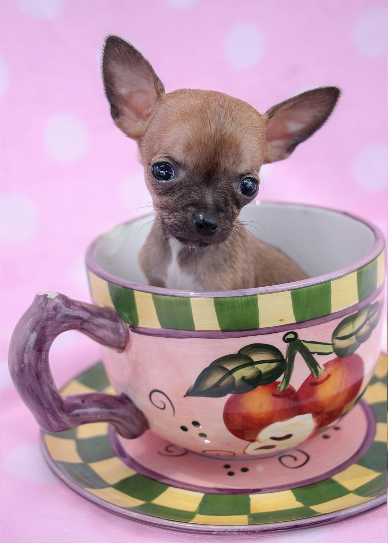 Teacup Chihuahua ID #222