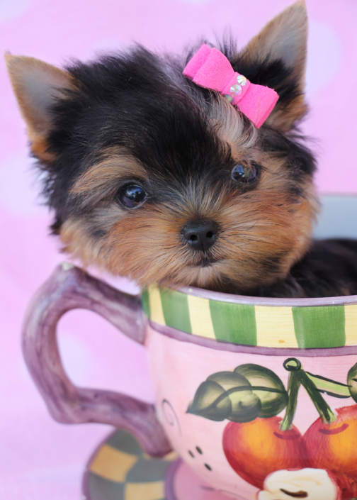 Teacup Yorkie Puppy ID #252