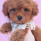 Toy Poodle ID #261