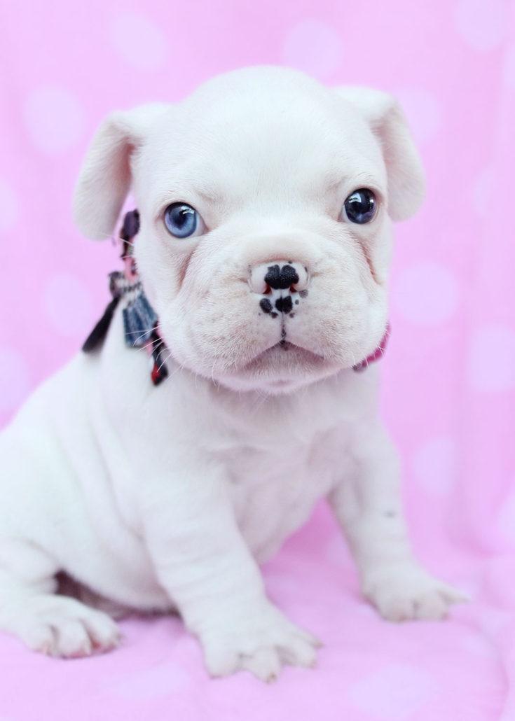 Breed: English Bulldog