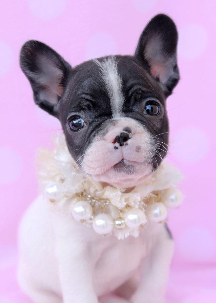 Breed: French Bulldog