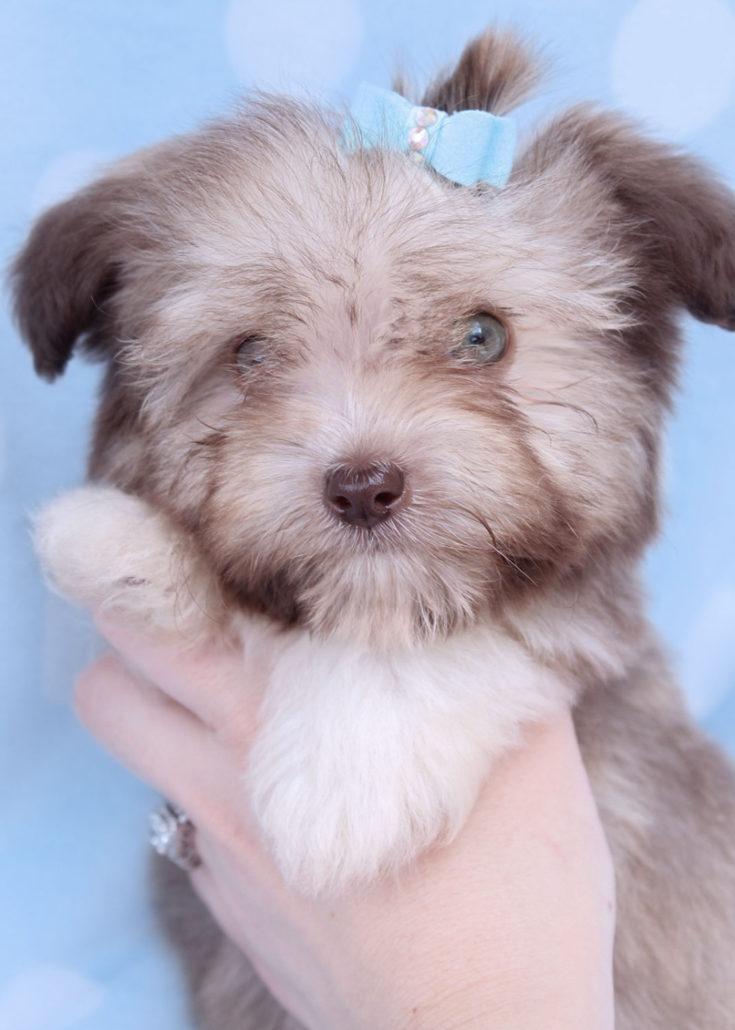 Havanese Puppy ID #250