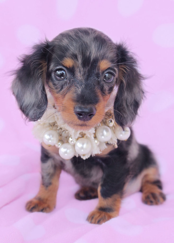 Breed: Miniature Dachshund