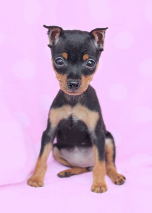 Miniature Pinscher #077