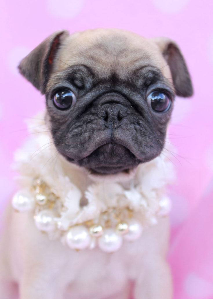 Pug Puppy ID #021