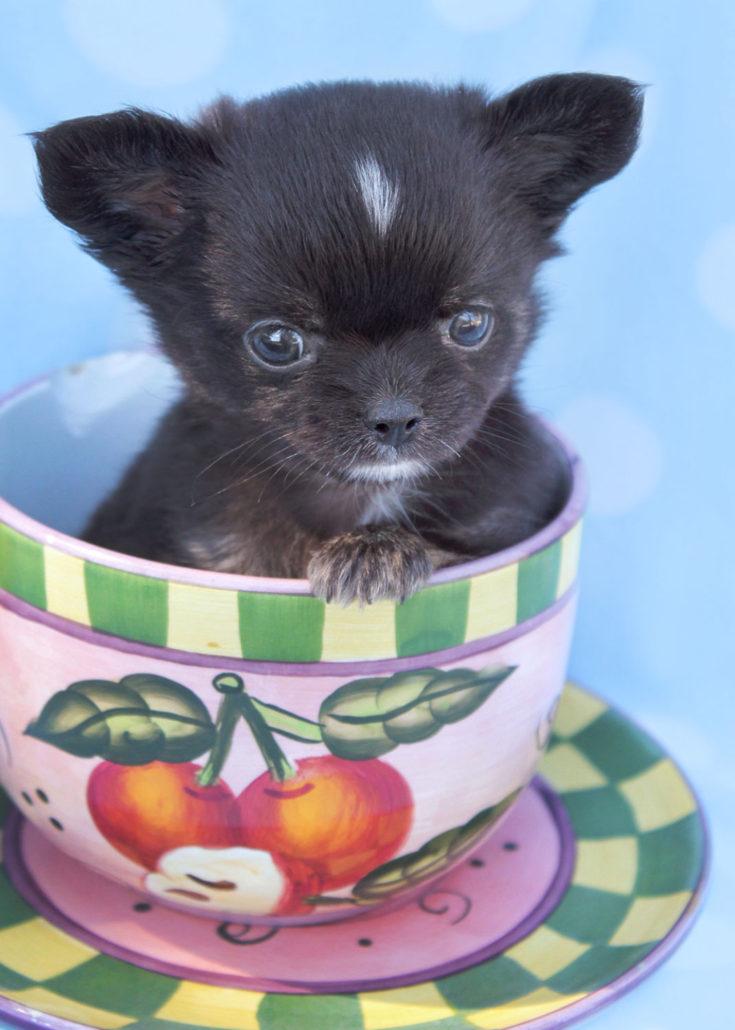 Breed: Chihuahua
