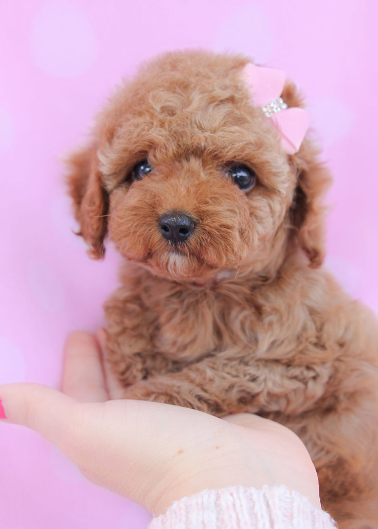 Breed: Toy Poodle