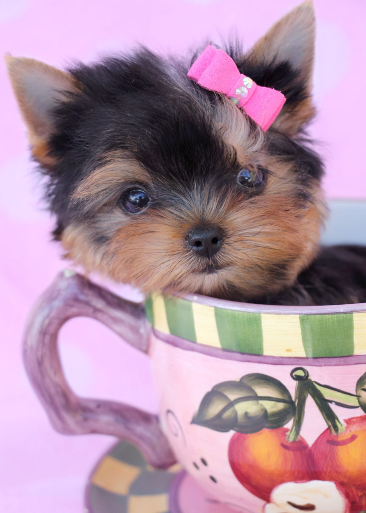 Breed: Yorkshire Terrier