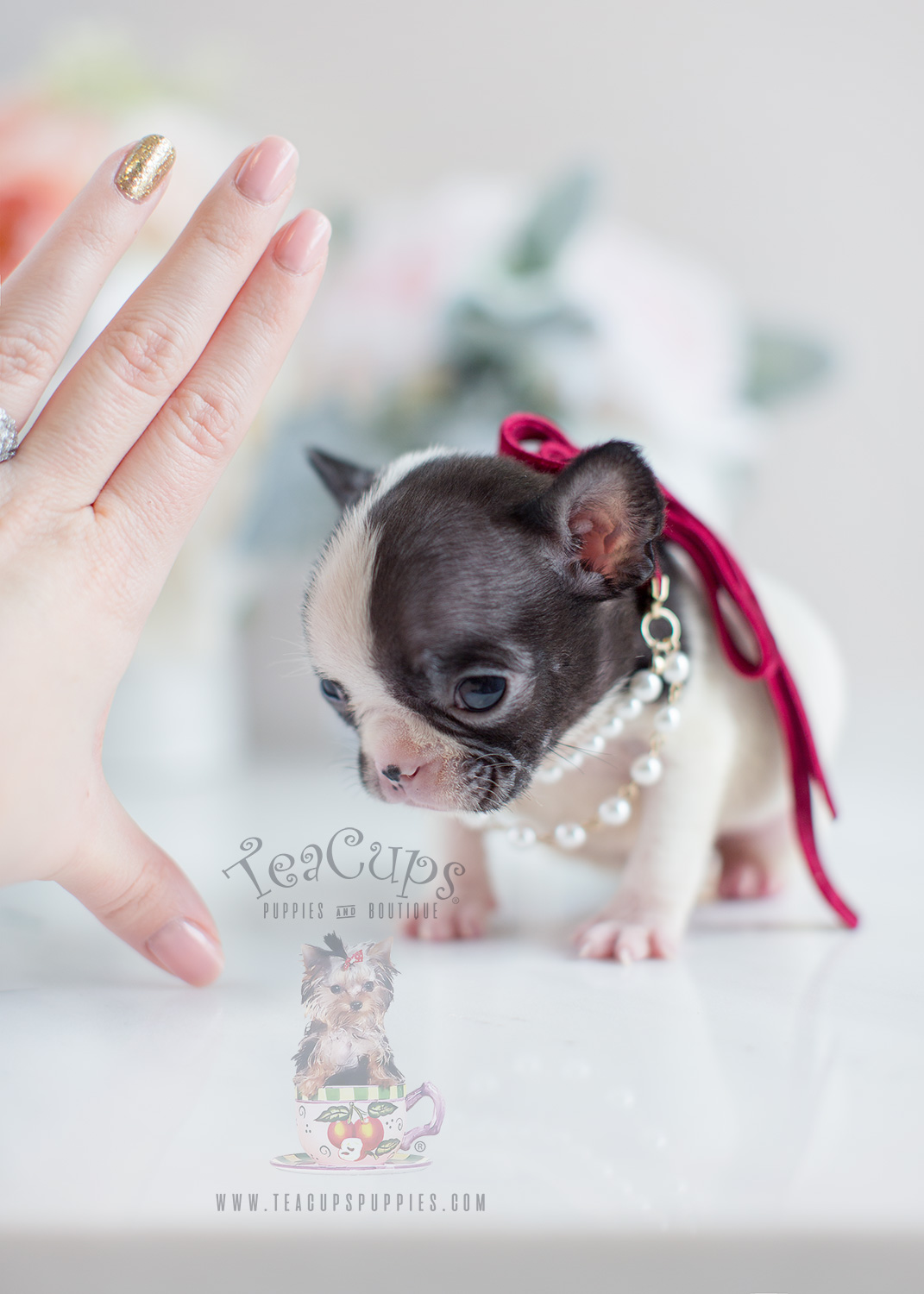 Teacup Puppies: Tiny French Bulldog Puppy For Sale