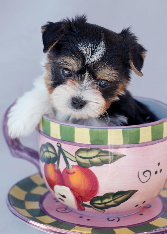 Biewer Terrier Puppy ID #342