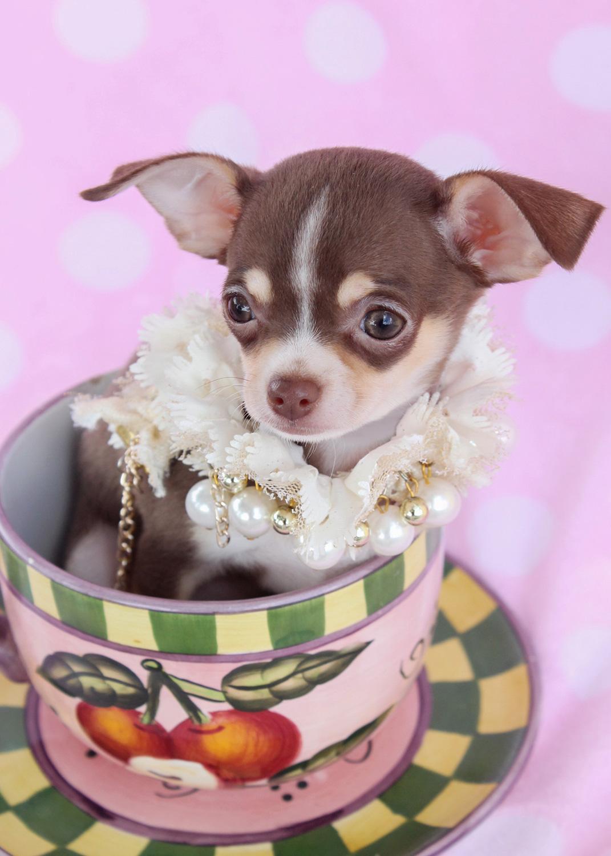 Teacup Chihuahua ID #086