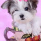 Morkie Puppy ID #317