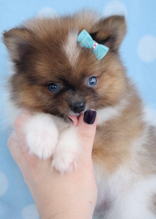 Pomeranian Puppy ID #327
