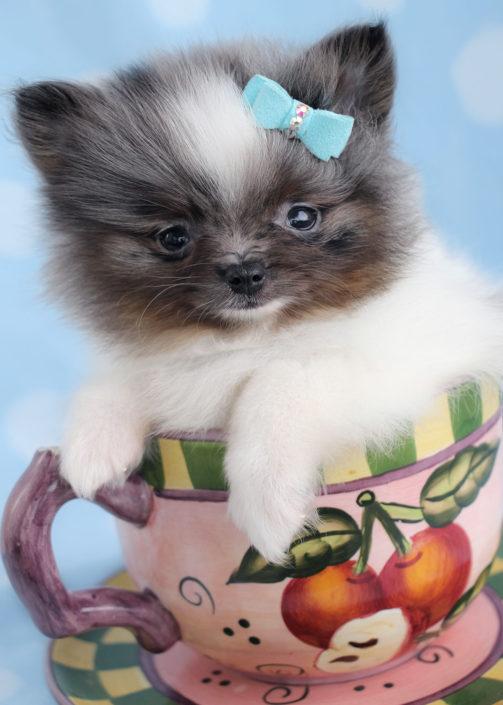 Pomeranian Puppy ID #328