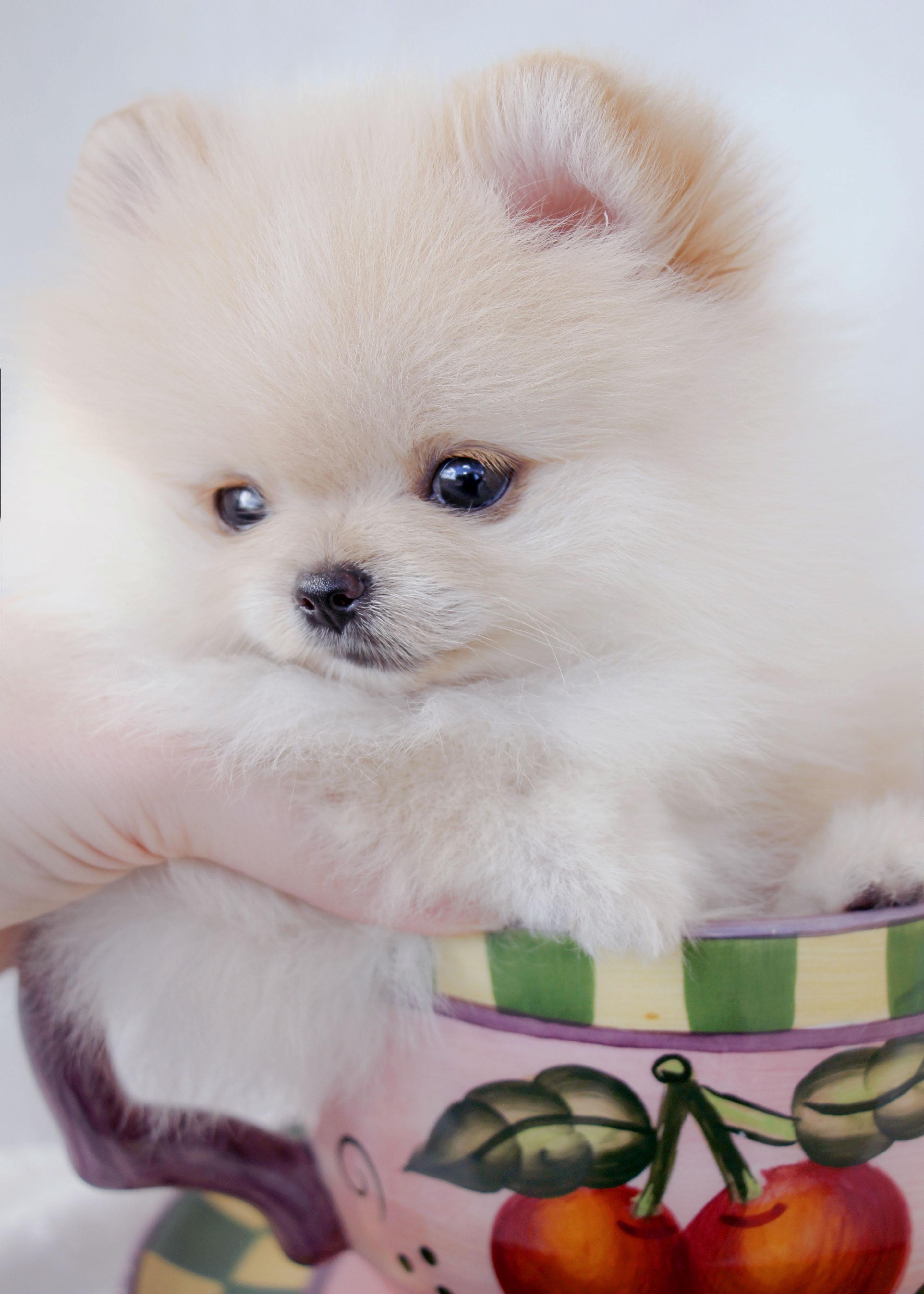 Pomeranian Puppy ID #332