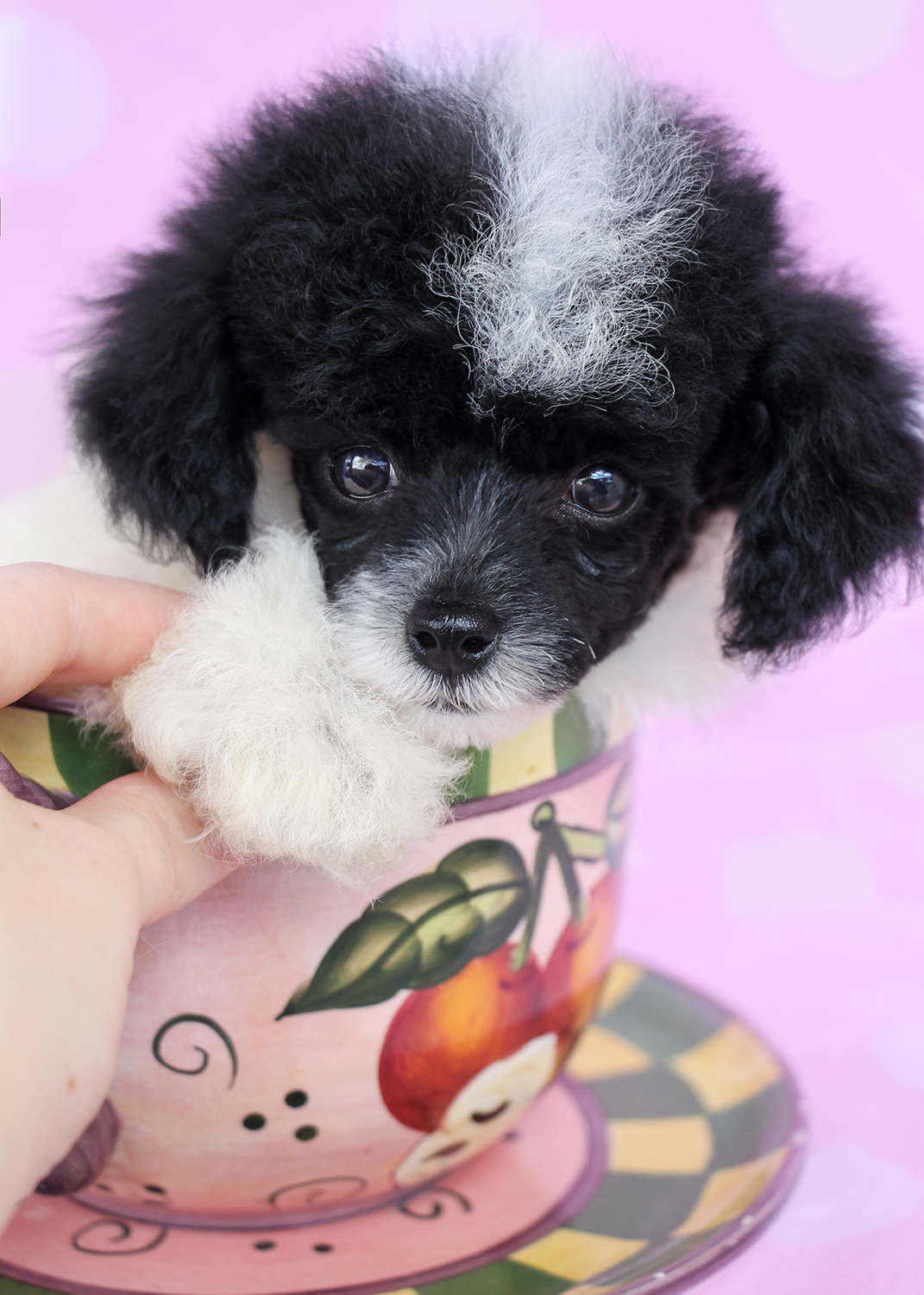 Toy Poodle Puppy ID #309