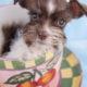 Mini Schnauzer Puppy #287