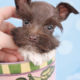 Mini Schnauzer Puppy #288