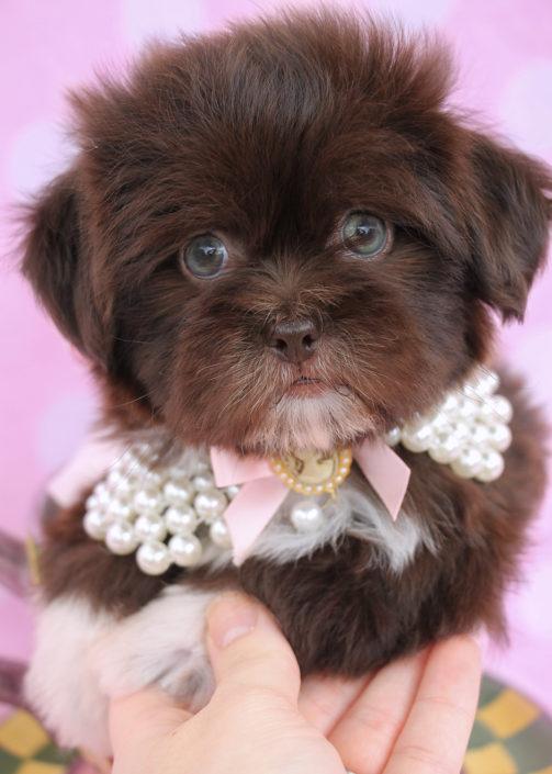 Shih Tzu Puppy ID #299