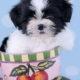 Shih Tzu Puppy ID #346