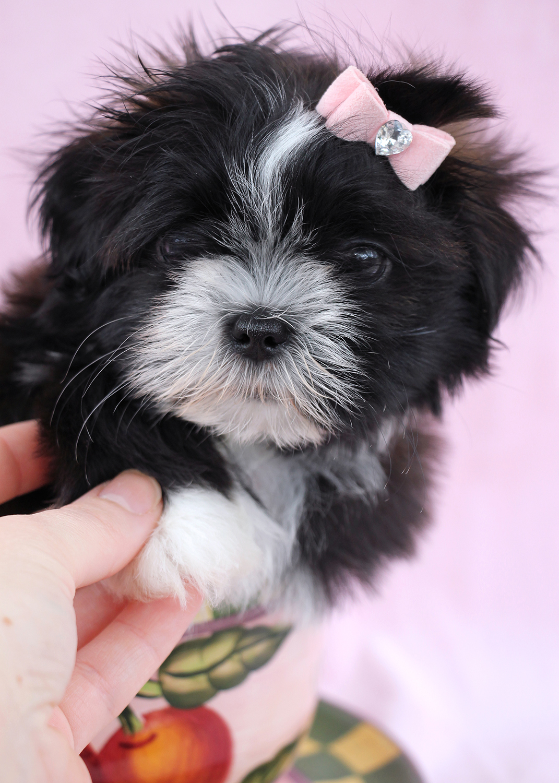 Shih Tzu Puppy ID #347