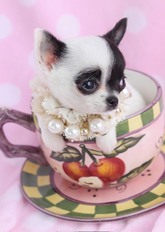 Teacup Chihuahua ID #089
