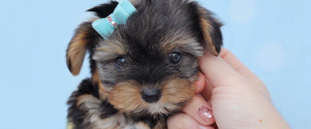Teacup Puppies and Teacup Yorkies for sale