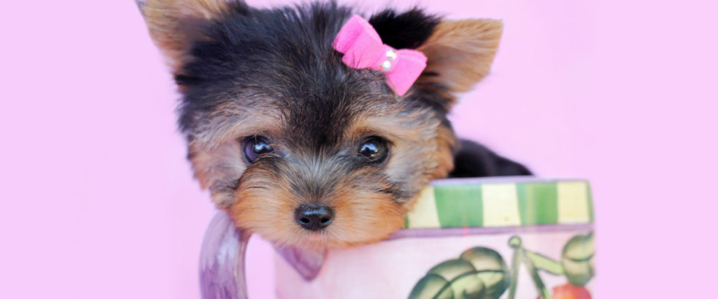 Tiny Teacup Puppies and Teacup Yorkies For Sale