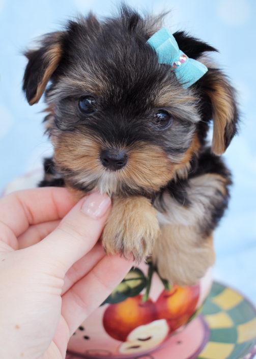 Yorkshire Terrier Puppy ID #249