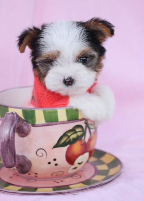 Biewer Yorkie Puppy ID #390