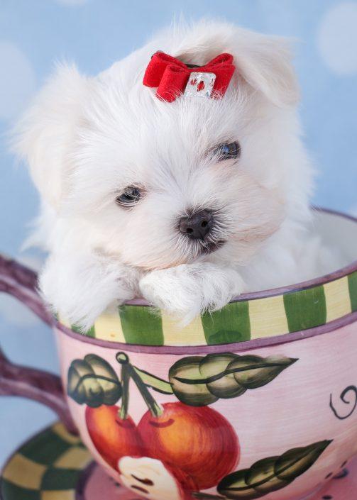 Teacup Maltese Puppy ID #381